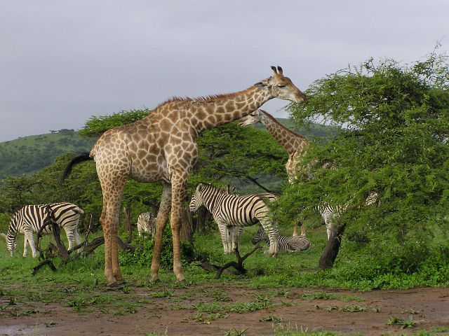 zebras and giraffes - photo #27